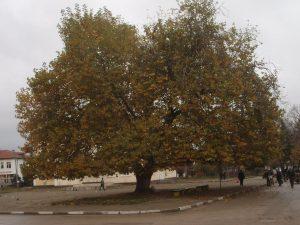 Дървото е село Арчар