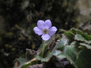 Сръбска рамонда, ендемитно растение от Западна Стара планина | снимка: visit.chiprovtsi.bg